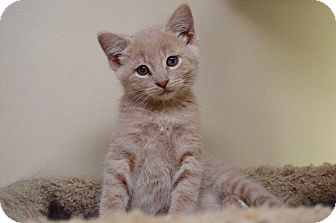 Domestic Shorthair Kitten for adoption in Middletown, Ohio - Luschek