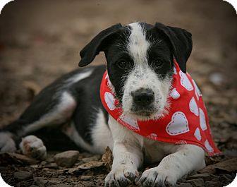 Australian Cattle Dog/Jack Russell Terrier Mix Puppy for adoption in Harrisburg, Pennsylvania - Simone