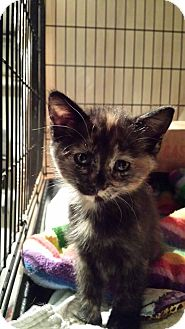 Domestic Shorthair Kitten for adoption in Clarkson, Kentucky - Checkers