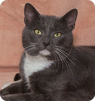 Domestic Shorthair Cat for adoption in Elmwood Park, New Jersey - Apollo