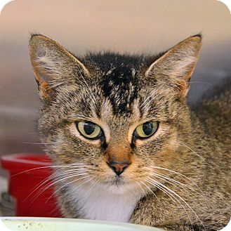 Domestic Shorthair Cat for adoption in Brooksville, Florida - 10309961