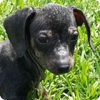 Adopt A Pet :: Leo Lexus - Houston, TX