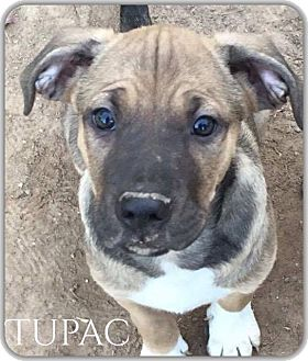 Catahoula Leopard Dog Mix Puppy for adoption in DeForest, Wisconsin - Tupac