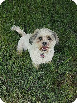 Maltese/Shih Tzu Mix Dog for adoption in Minot, North Dakota - Lili