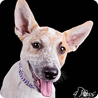 Australian Cattle Dog Mix Puppy for adoption in Lodi, California - Ginger