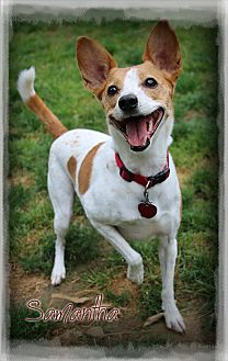 Jack Russell Terrier Mix Dog for adoption in Shippenville, Pennsylvania - Samantha