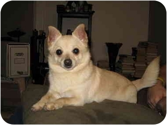 Chihuahua Mix Dog for adoption in Worcester, Massachusetts - Wendell