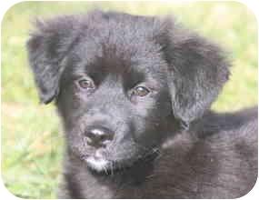 Australian Shepherd/Retriever (Unknown Type) Mix Puppy for adoption in Derry, New Hampshire - Kixx