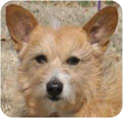 Corgi Mix Dog for adoption in Osseo, Minnesota - Sally