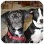Photo 2 - Labrador Retriever/Border Collie Mix Puppy for adoption in Berkeley, California - Jack