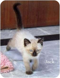 Siamese Kitten for adoption in Mandeville Canyon, California - Jack