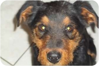 Airedale Terrier Mix Puppy for adoption in Arenas Valley, New Mexico - Murphy
