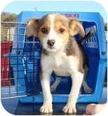 Labrador Retriever Mix Dog for adoption in Staunton, Virginia - Peyton