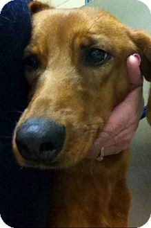 Redbone Coonhound/Retriever (Unknown Type) Mix Puppy for adoption in Hamburg, Pennsylvania - Jesse