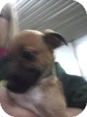 Fox Terrier (Smooth) Mix Puppy for adoption in Plainfield, Illinois - Captain