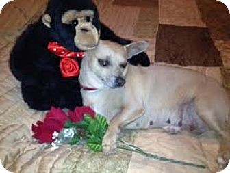 Chihuahua Mix Dog for adoption in Las Vegas, Nevada - Scarlett