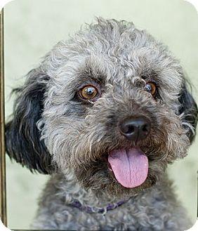 Poodle (Miniature) Dog for adoption in Studio City, California - Gonzo