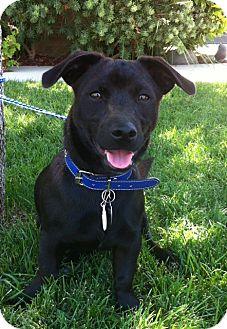 Corgi/Labrador Retriever Mix Puppy for adoption in Irvine, California - BLAKE