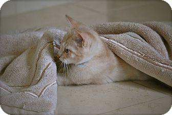 Domestic Shorthair Kitten for adoption in Trevose, Pennsylvania - BUFF KITTENS