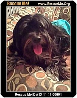 Havanese Dog for adoption in Boulder, Colorado - Finn-Adoption Pending