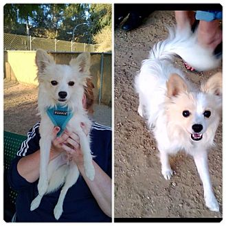 Papillon Mix Dog for adoption in Los Angeles, California - Maverick
