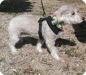 Schnauzer (Standard) Mix Dog for adoption in Norman, Oklahoma - Shyla