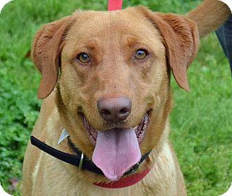 Labrador Retriever Mix Dog for adoption in Searcy, Arkansas - Red
