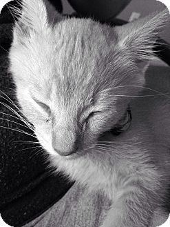 Domestic Shorthair Kitten for adoption in Tracy, California - Thomas