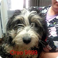 Adopt A Pet :: Oreo - Greencastle, NC