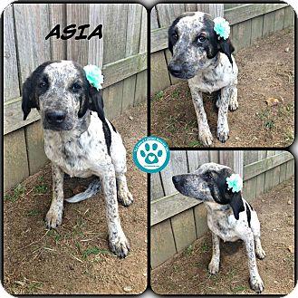 Hound (Unknown Type)/Pointer Mix Puppy for adoption in Kimberton, Pennsylvania - Asia