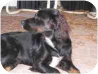 Cocker Spaniel Mix Puppy for adoption in Carrollton, Texas - Danica