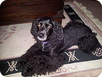 Cocker Spaniel Dog for adoption in Kannapolis, North Carolina - Luie -Adopted!