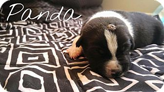 American Staffordshire Terrier Mix Puppy for adoption in Los Angeles, California - Panda Bear