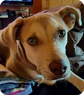 Labrador Retriever Mix Dog for adoption in Austin, Texas - Fiona
