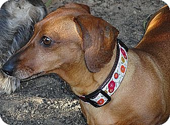 Dachshund Dog for adoption in Forest Ranch, California - Cossette