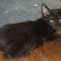 Domestic Shorthair Kitten for adoption in Acme, Pennsylvania - MALCOM