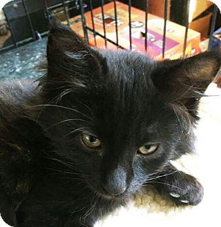 Domestic Mediumhair Kitten for adoption in N. Billerica, Massachusetts - Santana