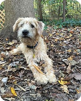 Terrier (Unknown Type, Medium) Mix Puppy for adoption in Bowie, Maryland - Adopted! Woody