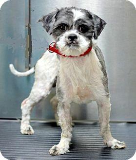 Shih Tzu Dog for adoption in Concord, North Carolina - Moe