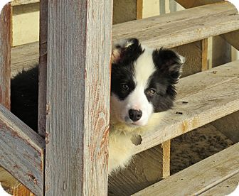 Border Collie Puppy for adoption in Nampa, Idaho - MARLEY *adoption pending!*