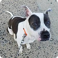 Adopt A Pet :: LOKI - Cliffside Park, NJ