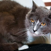 Adopt A Pet :: Murray - Santa Rosa, CA