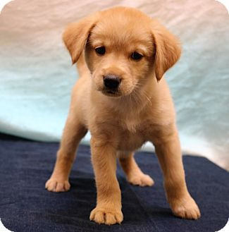 Labrador Retriever/Golden Retriever Mix Puppy for adoption in Staunton, Virginia - Teddy