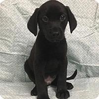 Adopt A Pet :: Tiger - Champaign, IL