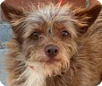 Terrier (Unknown Type, Small) Mix Dog for adoption in Los Angeles, California - VENUS (video)