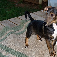 Adopt A Pet :: stallone - Spring Valley, NY