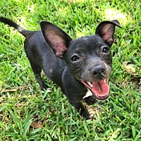 Adopt A Pet :: ONYX - Katy, TX