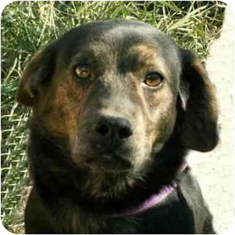 Hound (Unknown Type)/Shepherd (Unknown Type) Mix Dog for adoption in Terre Haute, Indiana - Beaumont