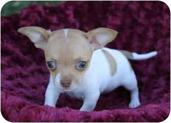 Rat Terrier/Fox Terrier (Toy) Mix Puppy for adoption in Newport Beach, California - LEAH