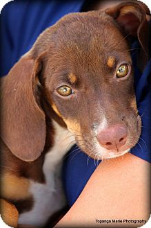 Terrier (Unknown Type, Medium) Mix Puppy for adoption in Boynton Beach, Florida - Cali